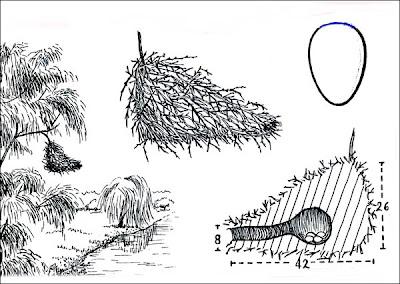 Espinero grande Phacellodomus ruber