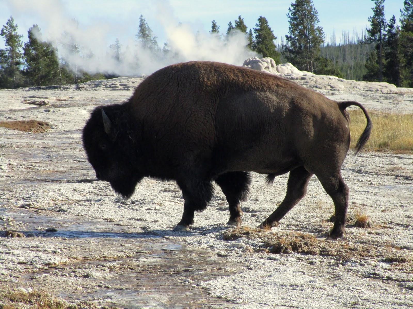 Бизон, Парк Йеллоустоун (Bison, Yellowstone)