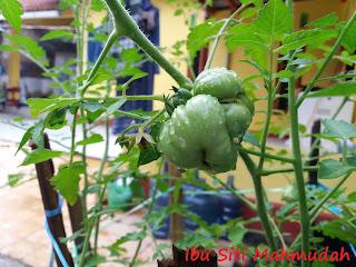 Reise Tomato Tomat Hias Unik Bernilai Ekonomis Tinggi
