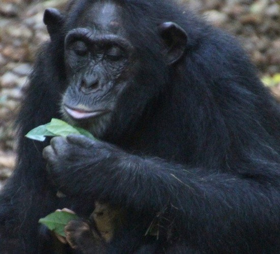 Laporan Penelitian Simpanse Gunakan Lumut Untuk Minum Sebagai Tradisi Keluarga