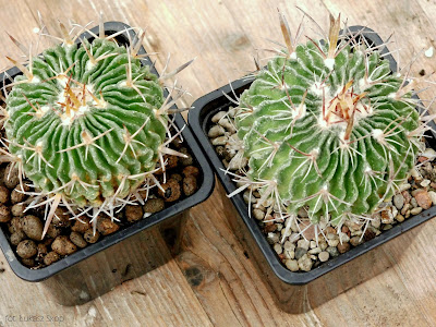 kaktusy w oddzielnych doniczkach