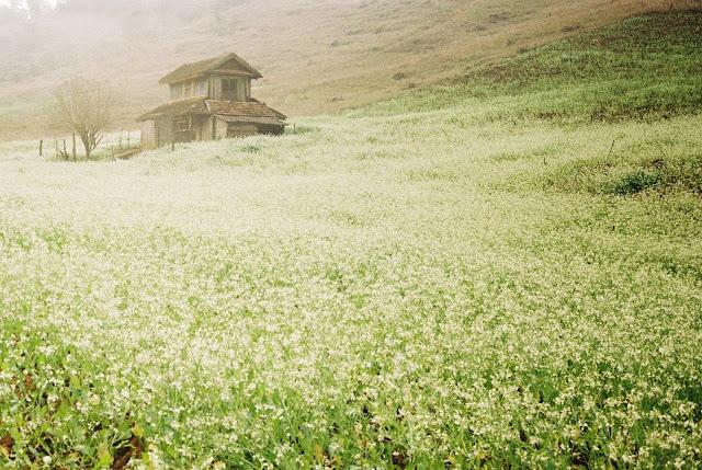 Hoa cải trắng