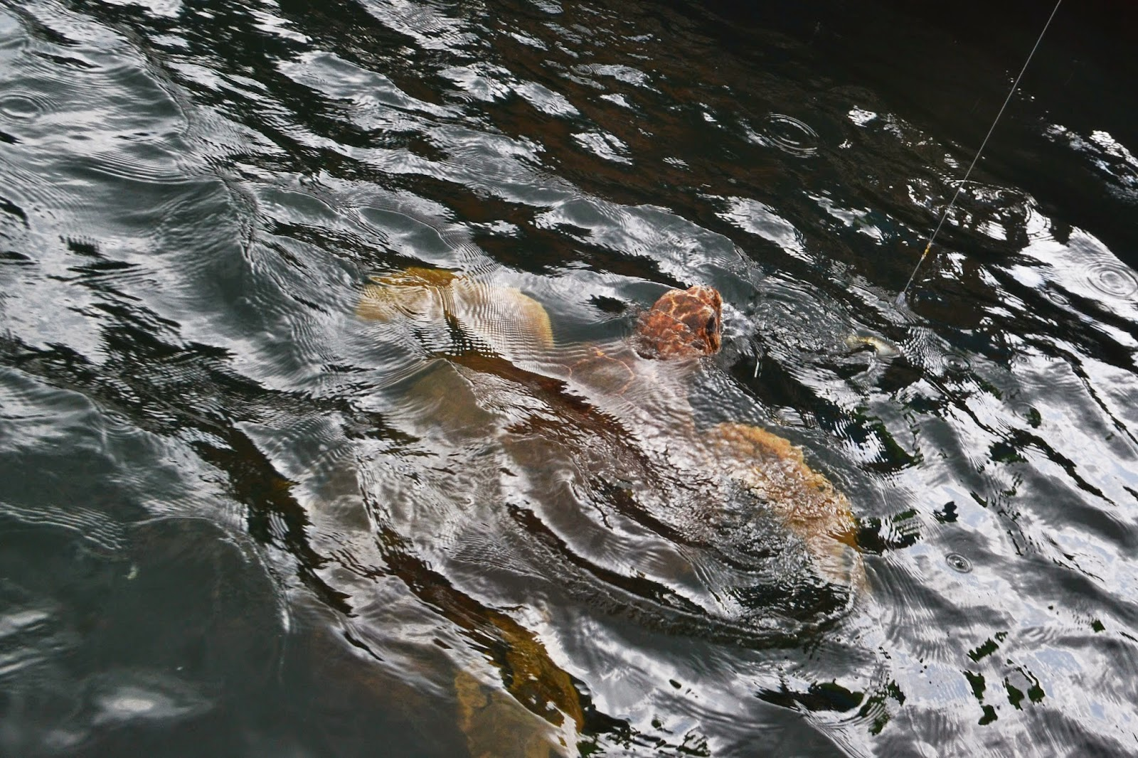 A turtle can be seen peeking out of the water