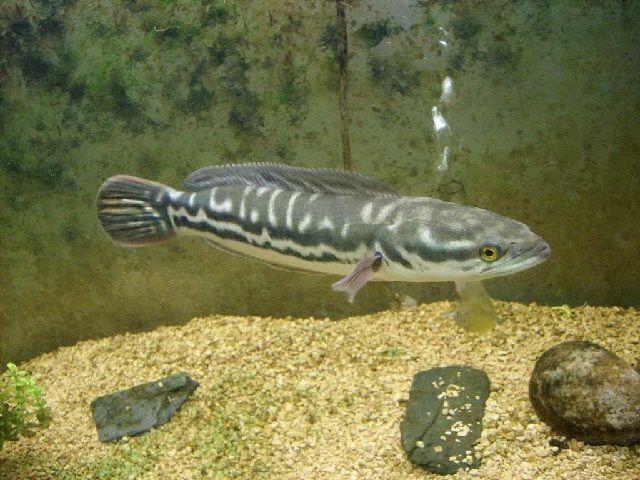 Jenis Ikan Predator-
