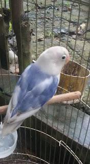 cara mencetak lovebird blorok biru