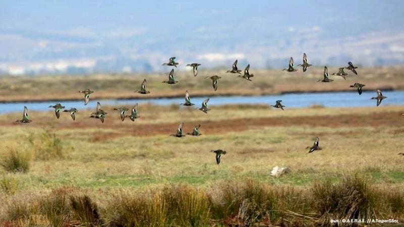 Χειμωνιάζει... και οι πληθυσμοί των υδροβίων στο Δέλτα Έβρου αρχίζουν να αυξάνονται