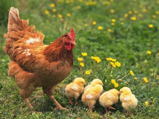 Kebanyakan orang dalam memelihara ayam khusunya ayam kampung hanya sebatas memelihara saj Kabar Terbaru- KIAT SUKSES BETERNAK AYAM KAMPUNG, LAKUKAN 4 SARAN INI