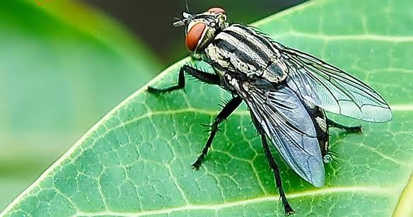 Hadist sayap lalat