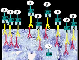 Incubación con estreptavidina peroxidasa