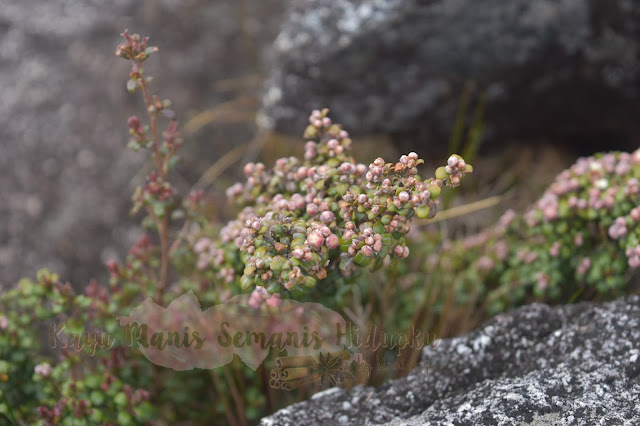 Tumbuhan Di Gunung Kinabalu