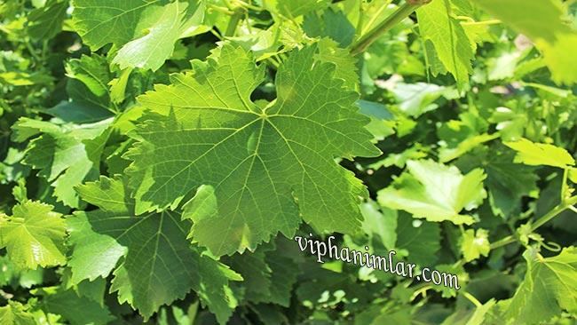 Asma Yaprağının Sağlık İçin 5 Faydası - www.viphanimlar.com