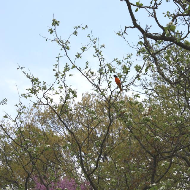 Baltimore oriole resting in a tree at The Morton Arboretum