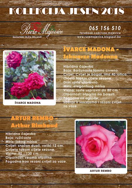 Tamno crvena ruža Švarce Madona i tamno roze ruža Artur Rembo