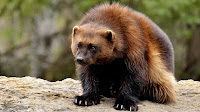Wolverine animal photo_Gulo gulo