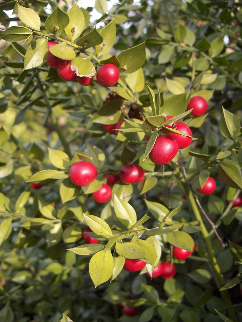 Butcher S Broom Ruscus Aculeatus Overview Health