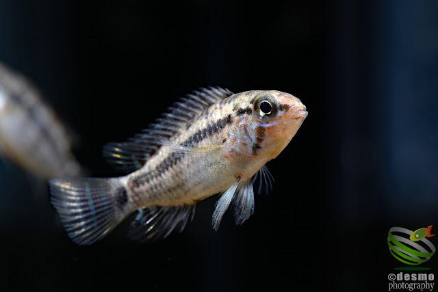 Apistograma sp. peixoto