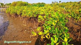 Mangrove Pasir Mendit
