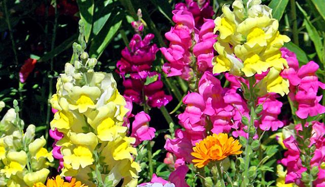 Bunga Antirrhinum , Snapdragon