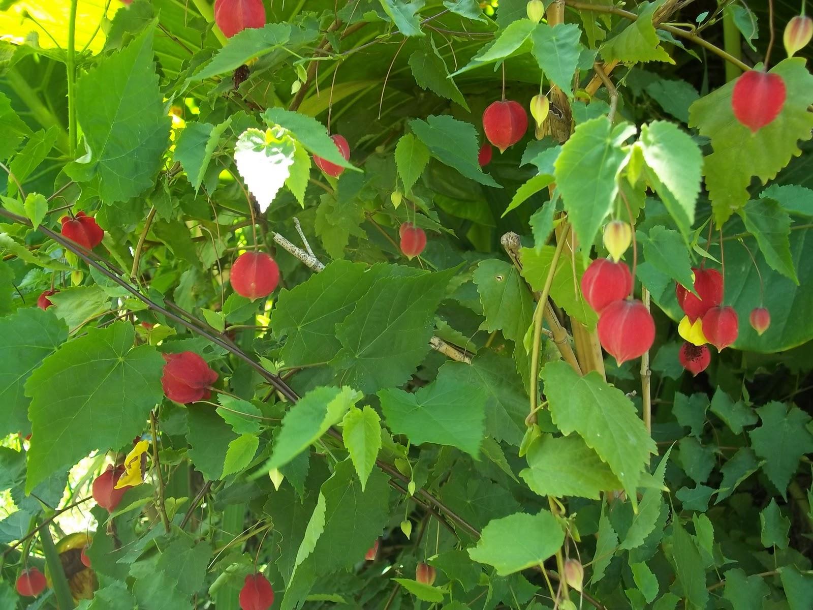 Arbustos para macetas - Especies de arbustos ...