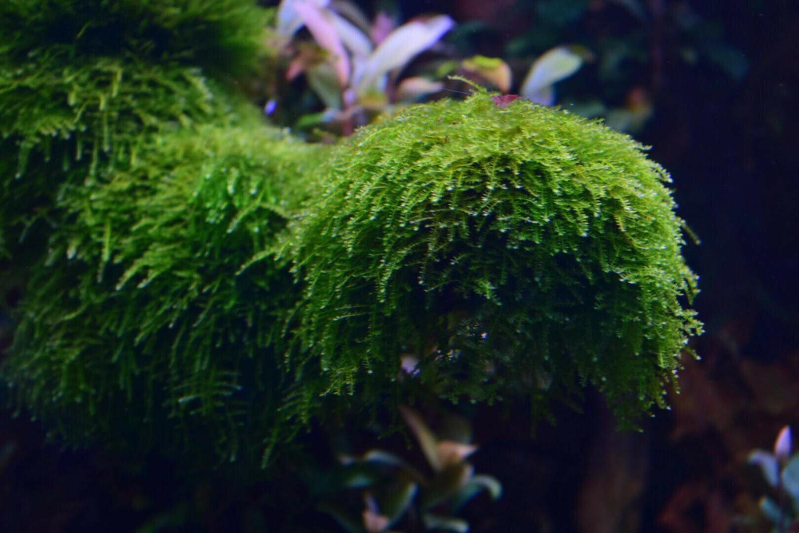 Rêu thủy sinh Weeping Sing của bạn Jackie Vo