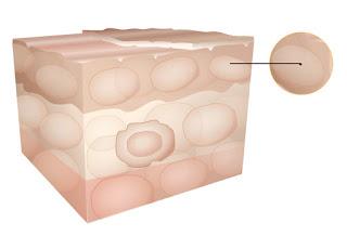 Epiderme - Estrutura da Pele