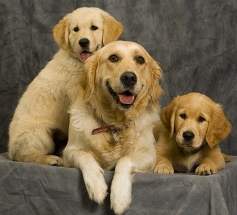 Everything about your Golden Retriever