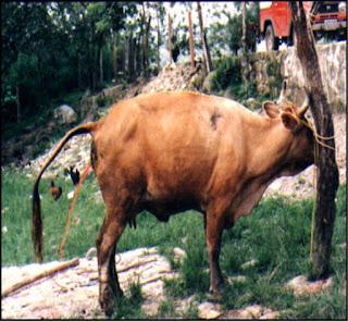 orina con sangre en bovino