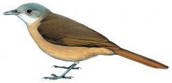 Pyrrhurus scandens