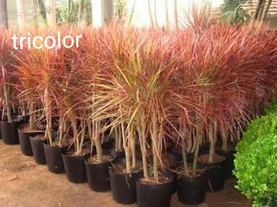 Jasa Tukang Taman Surabaya Tanaman Hias Tricolor