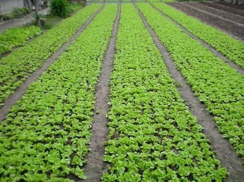 Kỹ thuật trồng rau an toàn