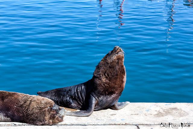 Un lobo marino estirándose al sol junto a otro dormido en la banquina de pescadores de Mar del Plata; Argentina.