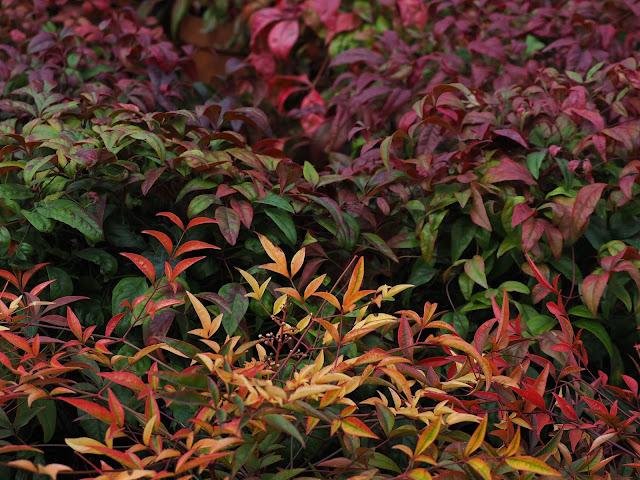 ¿Qué pasaría si plantases arbustos de bayas?