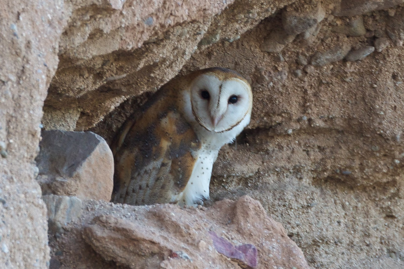 Feather Tailed Stories: Barn Owl