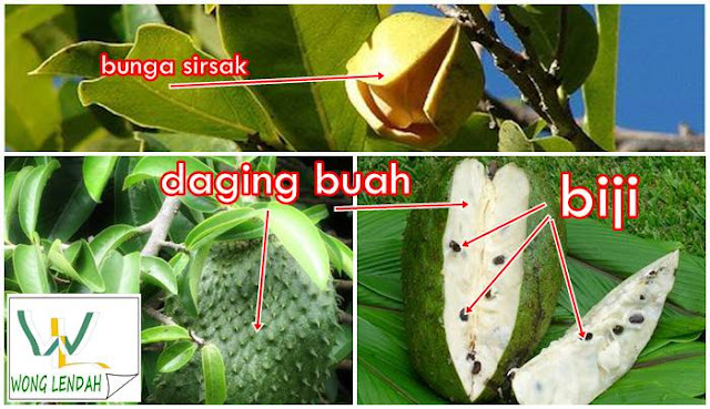 Cara mudah menanam pohon sirsak dengan pucuk daun