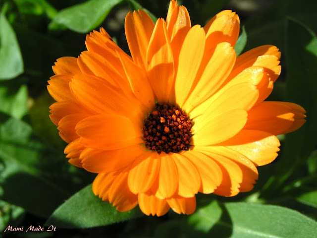 October Birth Flower - Blume des Monats Oktober