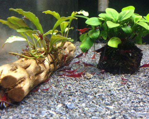 Lũa cholla trang trí cho bể thủy sinh nuôi tép