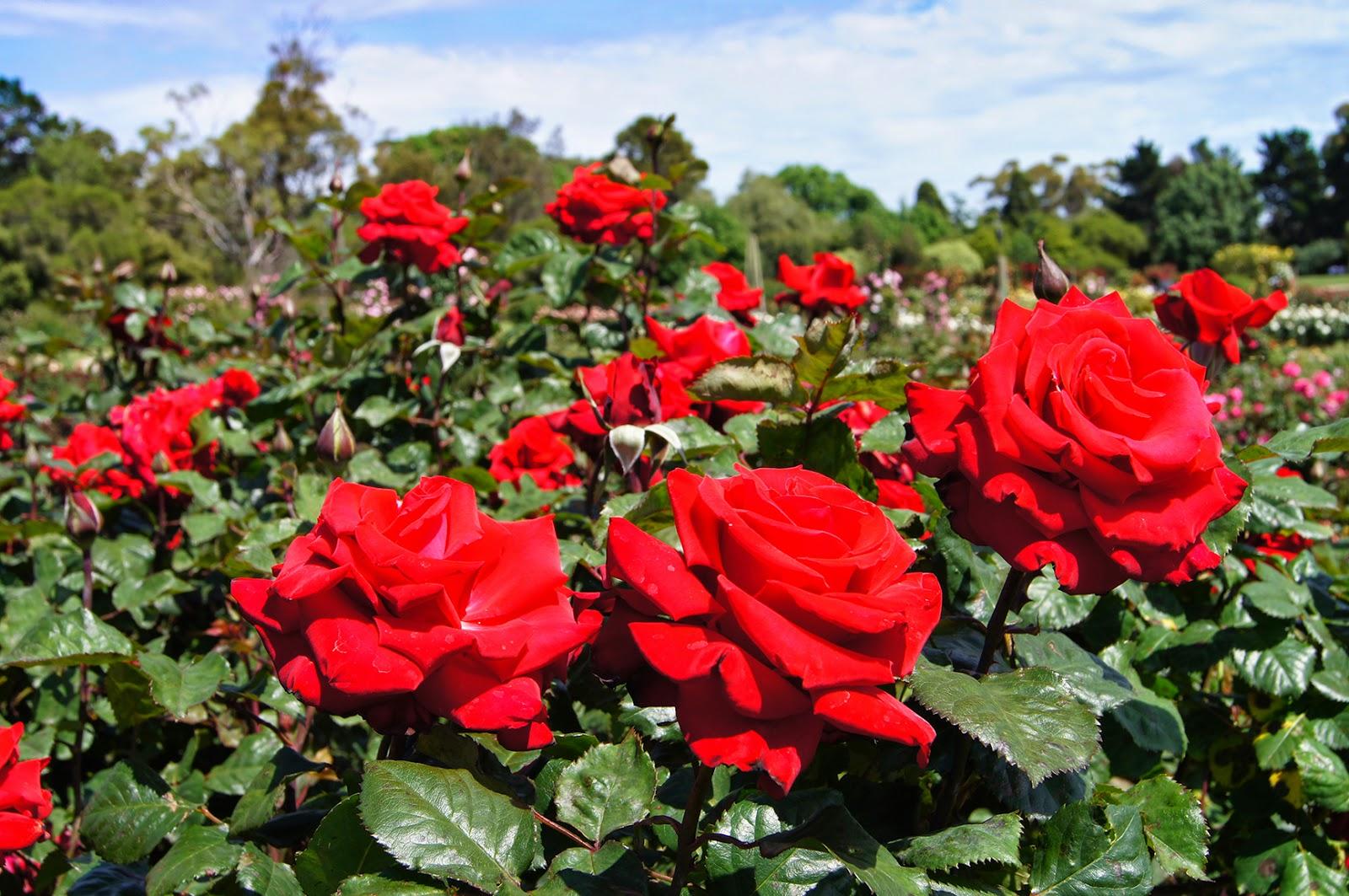 Nixpixmix Grande Amore Rose