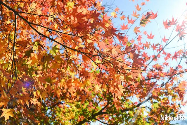 【日本。河口湖】紅葉回廊:觀賞紅葉和富士山的好地點! 9