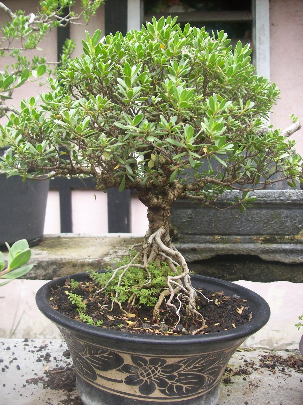 Update Gambar Pohon dan Bunga Bonsai