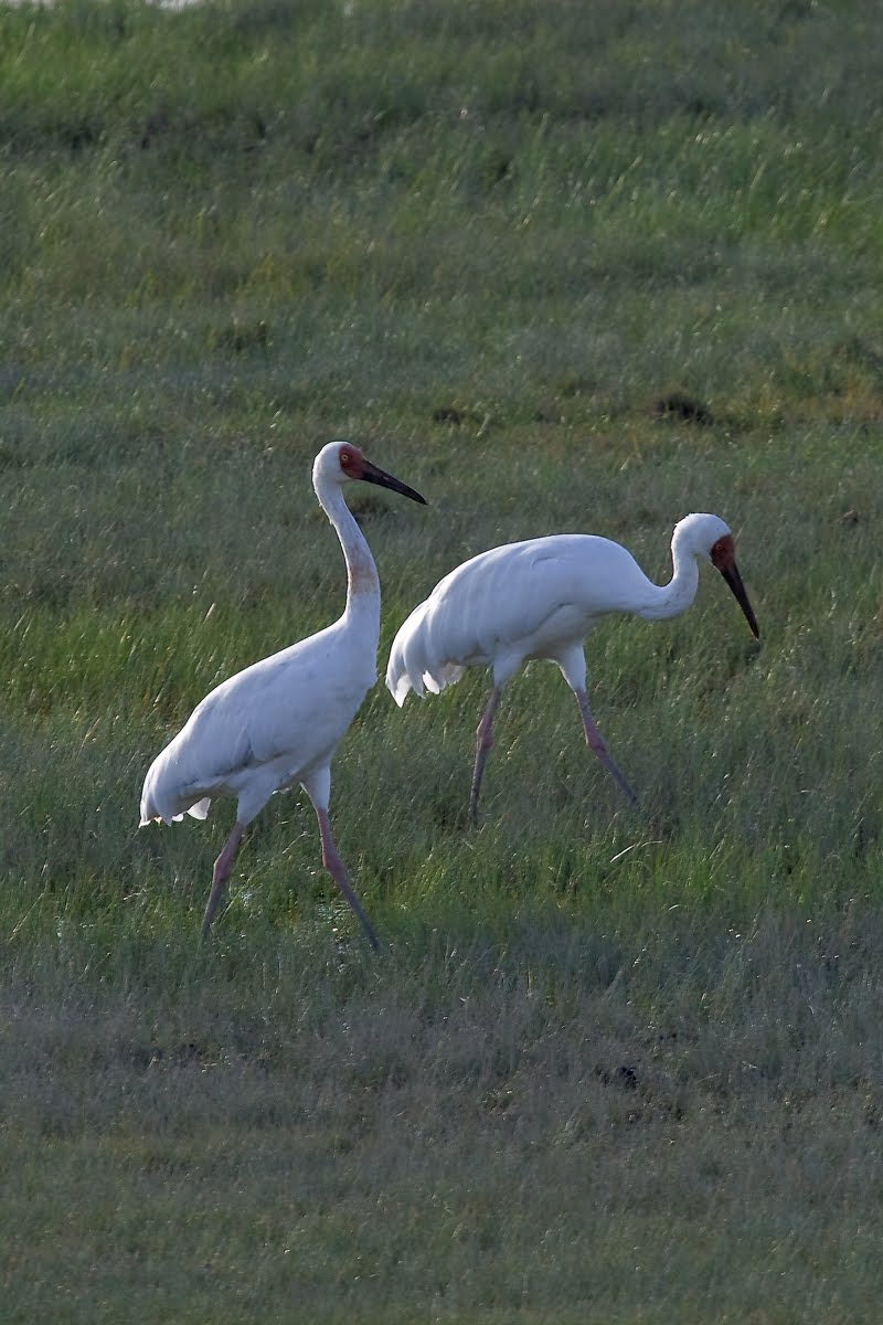 White Crane Like Bird