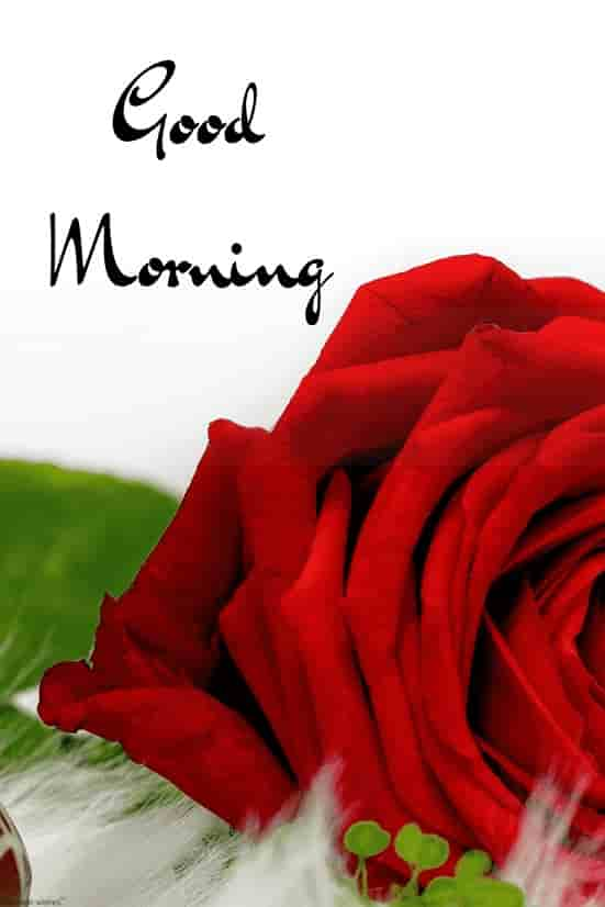 gud mrng images with red rose