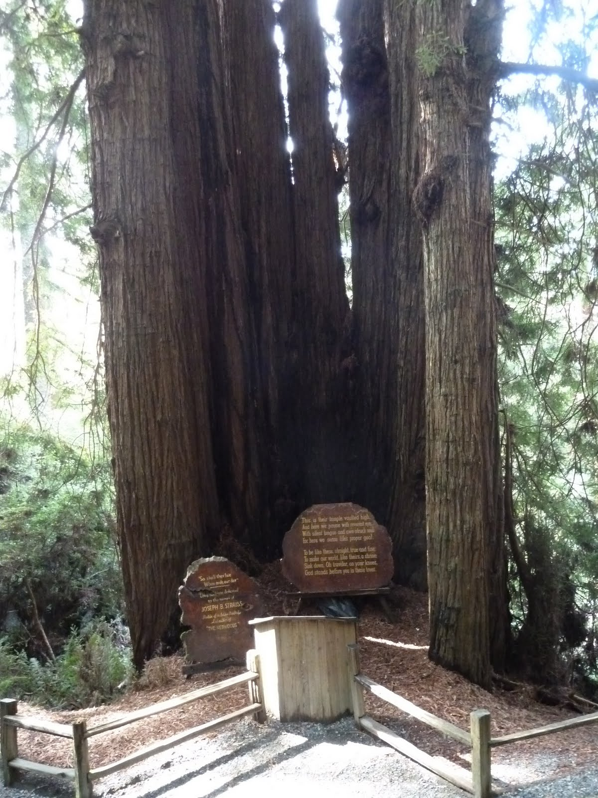 Trees Of Santa Cruz County Melaleuca Quinquenervia: Seniors Walking Across America: DAY 47