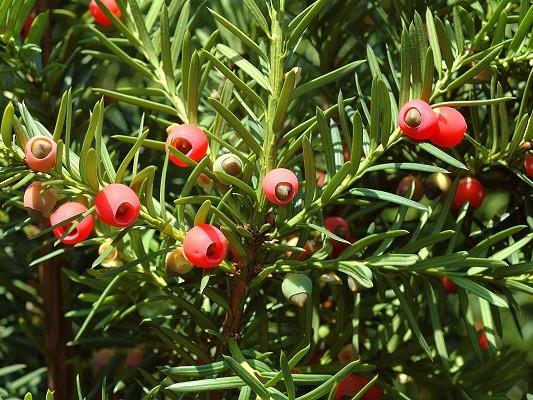 Taxus baccata Arillo Frutto