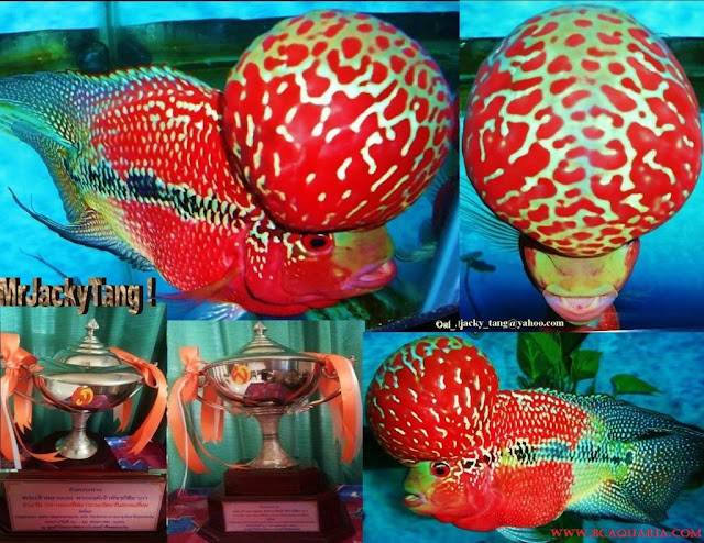 Gambar Ikan Luohan Juara Kontes thailand