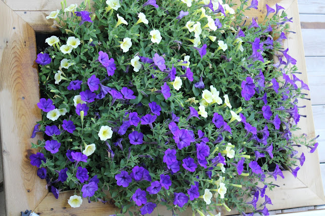 Petunias in planter