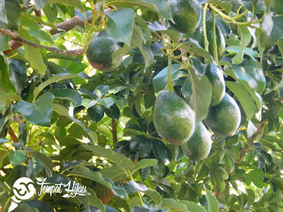 buah alpukat, bibit alpukat,cara menanam alpukat