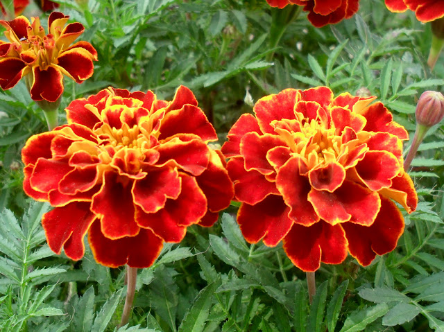 Apartment Plants Marigolds Best Plant for Apartment Outdoor Bug Deterrent