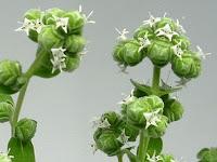 スイートマジョラムの花