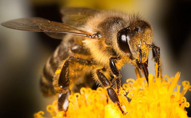 Εντυπωσιακή φωτογραφία: Το μάτι μιας μέλισσας καλυμμένο με γύρη