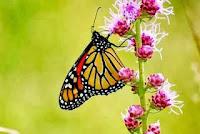 صور فراشات حكاية 2017 اجمل الفراشات الملونة